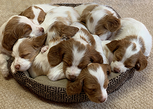 Sleepy Brittany Pups